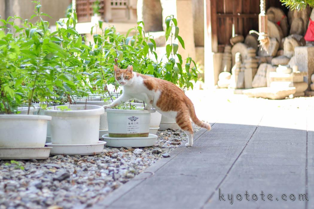 京都の行願寺のいたずらしている猫