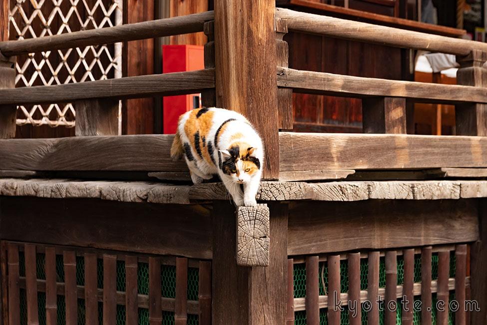 京都の行願寺の猫
