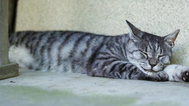 京都の梅宮大社の猫