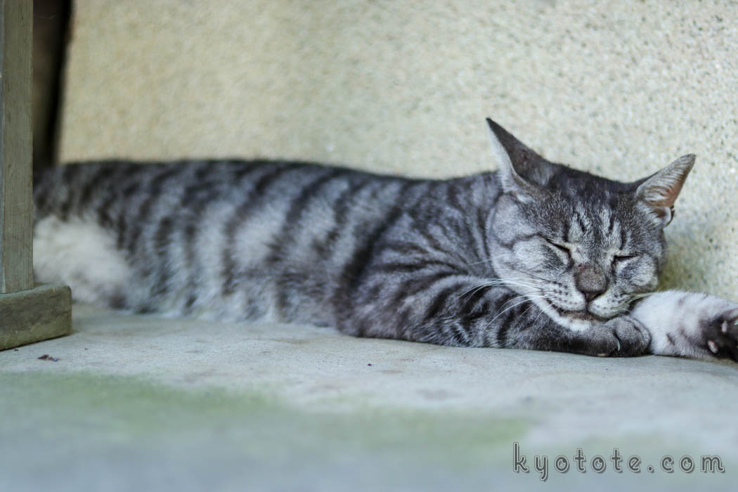 梅宮大社のツキという名前の猫