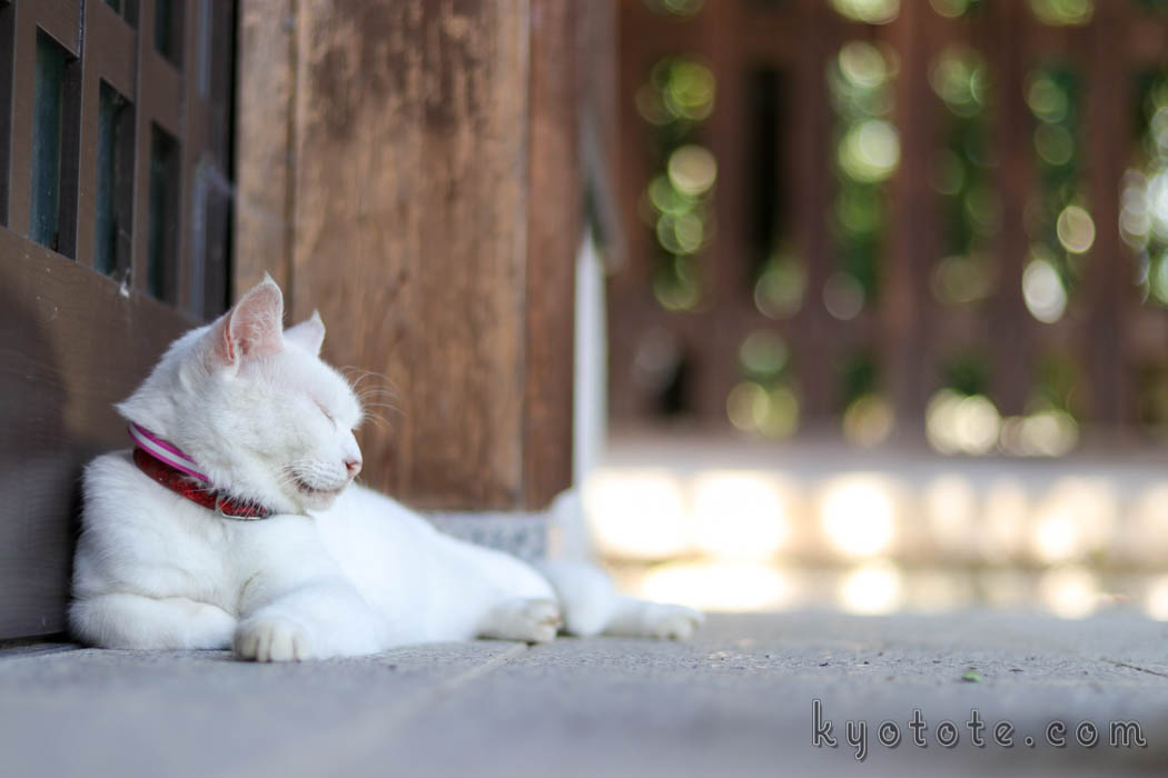 梅宮大社の白猫