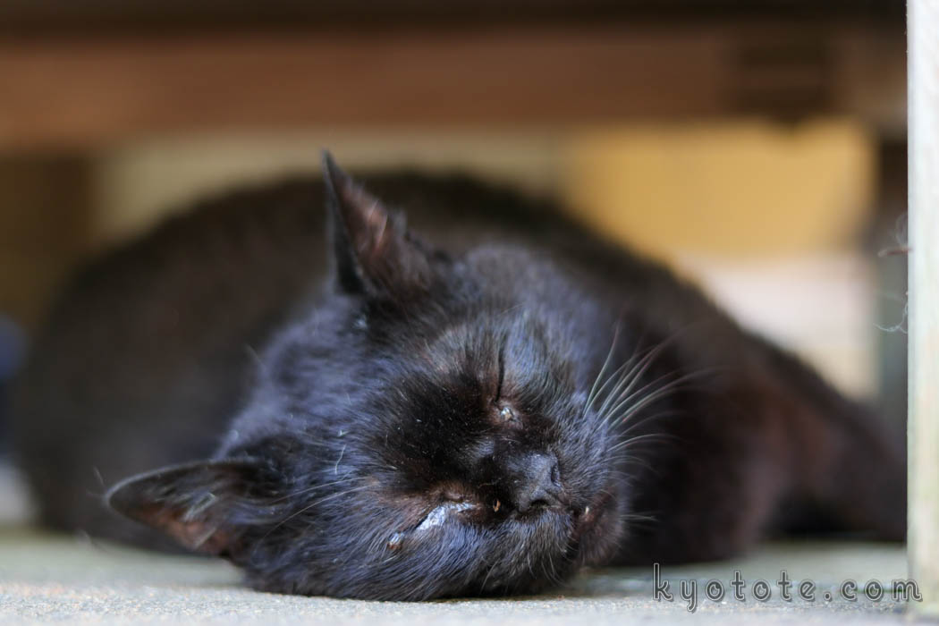 梅宮大社で寝る黒猫
