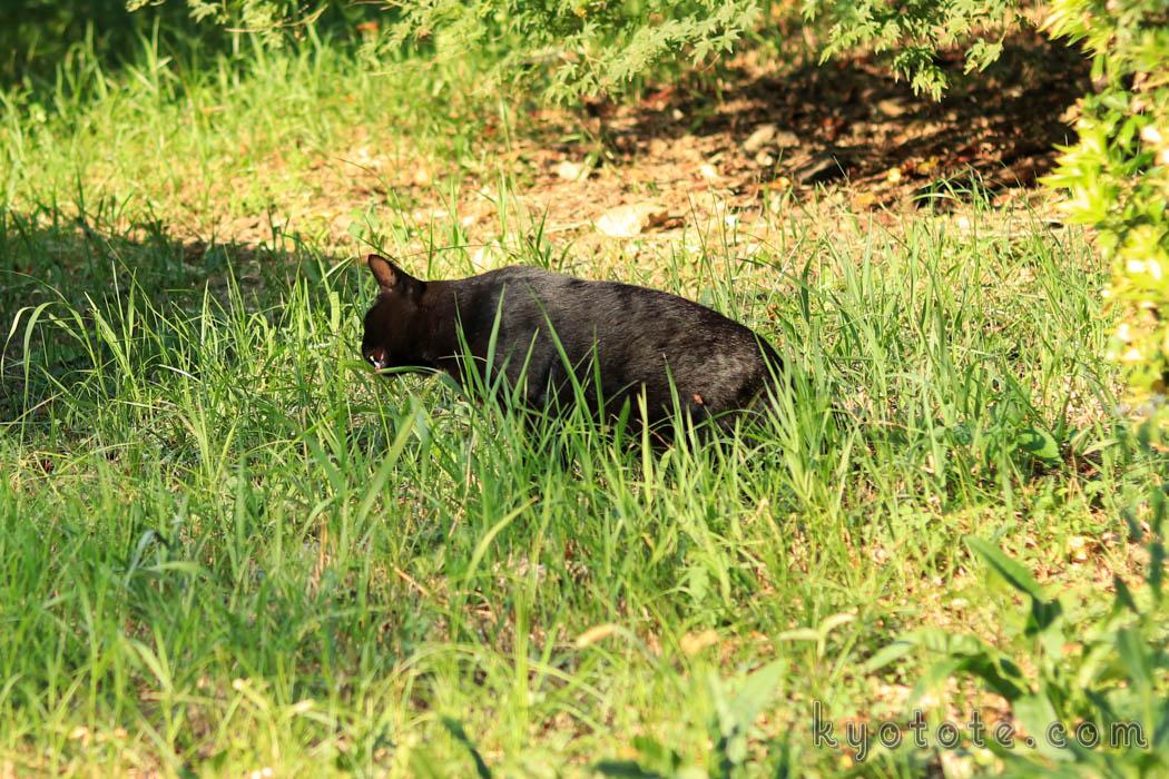 京都の円山公園の猫