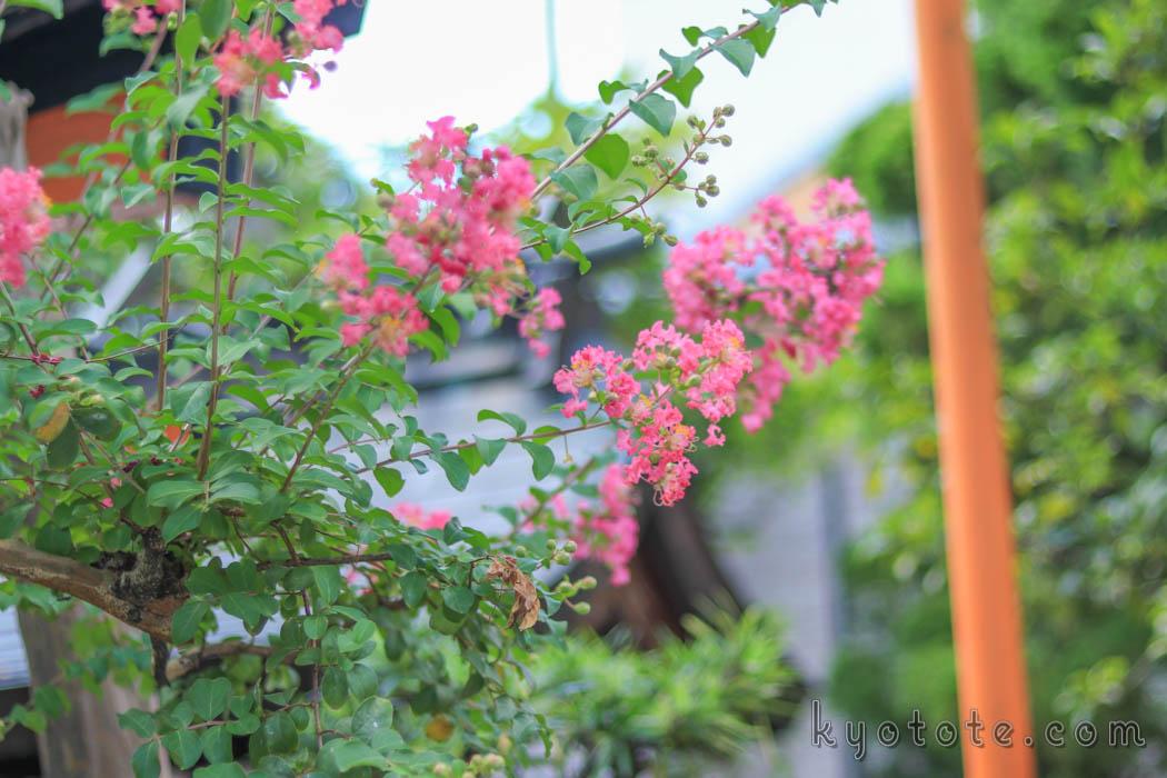 京都の辰巳大明神のサルスベリ